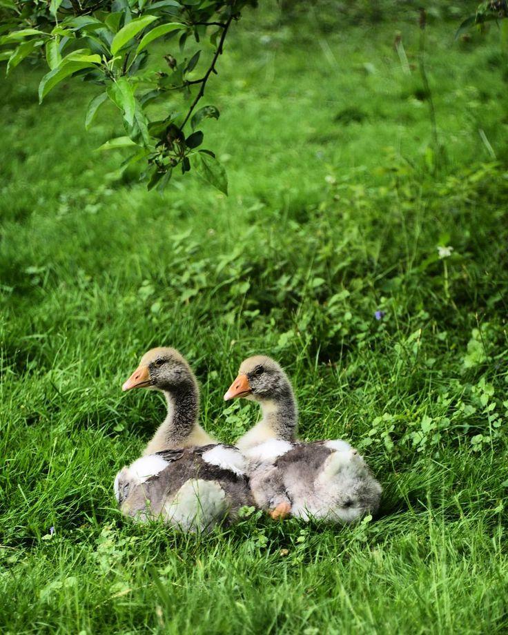 #gutenmorgen #spring #fruehling #gans #gaense #goose  #baeume  #Wesel #Niederrhein #Nature  #naturephotography #NRW #naturelovers #nature_perfection #ig_nikon #nature_shooters #natureart #Nikon #Nikond750 #nikon750 #IG_captures #ig_nrw #ig_deutschland #ig_global by bstnrw