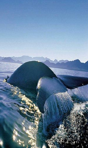 whale watching - Hermanus, Cape Town