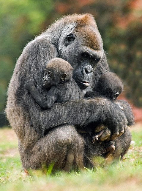 Mother gorilla holding twins, by Jeff Milsteen