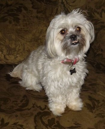 ShihPoo ShihTzu and Poodle Mix (With images) Shih