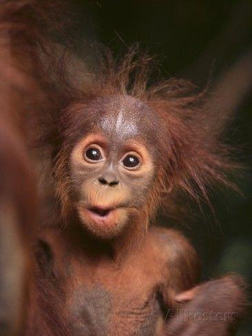 Orangutan and Baby Fotografie-Druck bei AllPosters.de