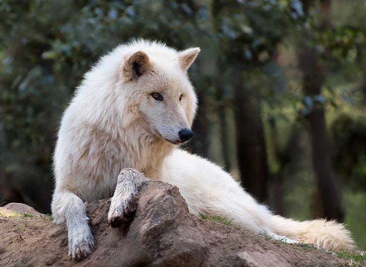 Susi Canis lupus