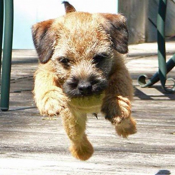 Image result for border terrier 犬 美しい