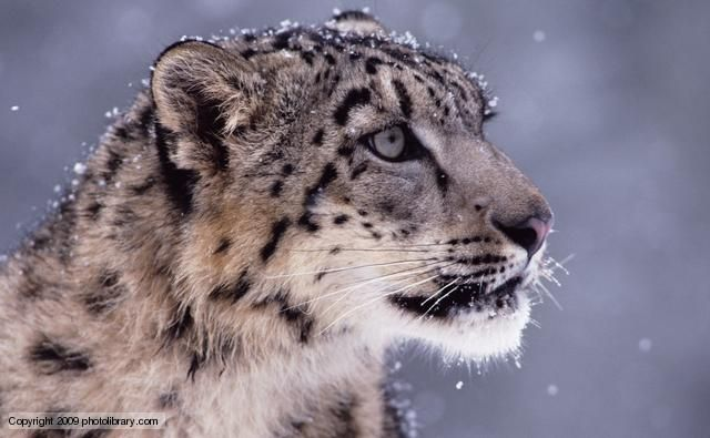 snow leopard...in snow