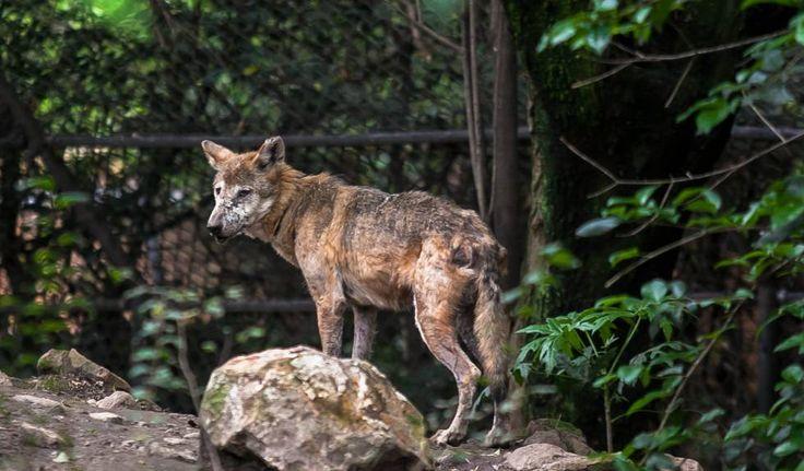 Un ejemplar de lobo mexicano en el zoológico de Chapultepec.  Zoológicos en México: el show debe terminar Los animales en cautiverio en el país viven en albergues cuya función se limita al entretenimiento y la preservación, muchos de ellos en condiciones indignas