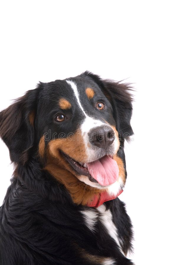 Happy Dog Cute And Young Bernese Mountain Dog On White Background