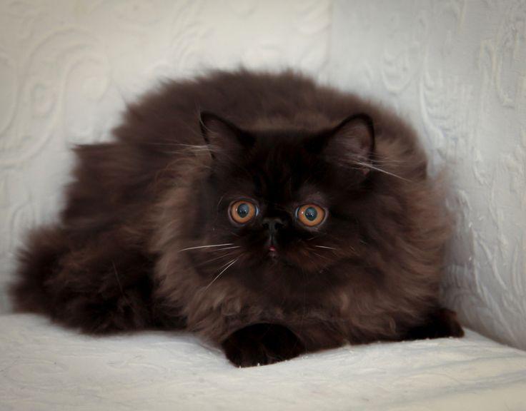 Rare black Himalayan cat   Victorian Gardens Cattery ...