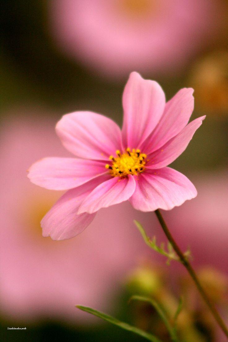 Pink Kitchen: Amazing Flowers, Cosmos Flowers, Beautiful