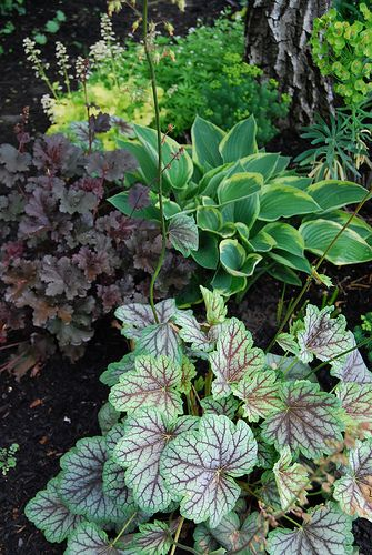 "Tiarella 'Crow's Feather', heuchera ""Purple Petticoat"" and a variegated hosta."