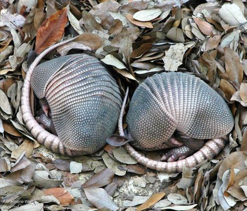 "Nine-banded armadillo pups. Approximately 20 species of armadillo exist, but the nine-banded is the  only one found in the United States. The term ""armadillo"" means ""little  armored one,"" and refers to the presence of bony, armor-like plates  covering their body. Despite their name, nine-banded armadillos can have  7 to 11 bands on their armor. There is a common misconception that  nine-banded armadillos can roll up into spherical balls. In reality,  only two species of armadillo (both…"