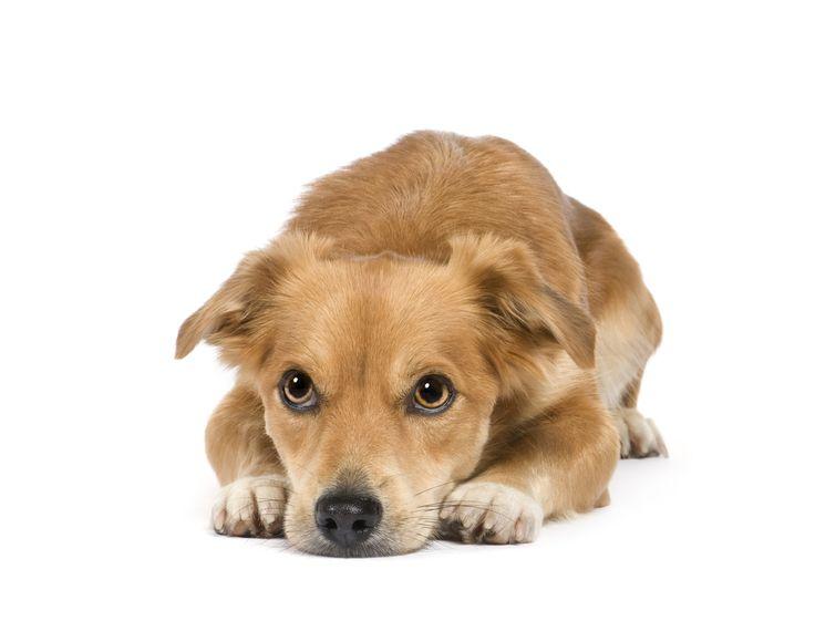 Intense belevenissen leiden bij ons tot stress. Voor onze huisdieren is dat niet anders. Bovendien zijn er nog een hoop andere triggers die onrust en angst kunnen losmaken bij onze trouwe viervoeters.  Stress bij jouw hond of kat? Doe er wat aan… en maak je beestje weer blij!