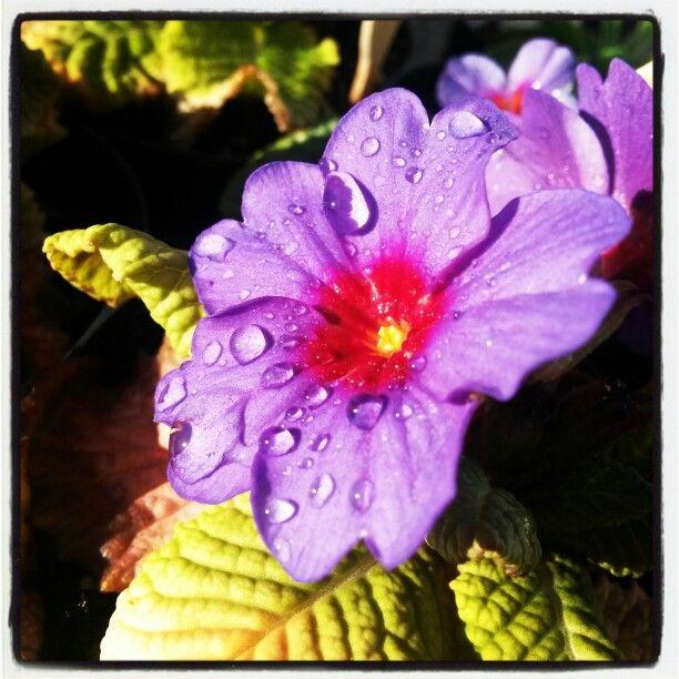 Plumberry Polyanthus