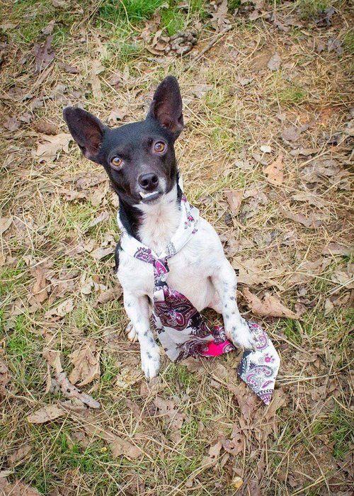 Jack Chi dog for Adoption in Batavia, NY. ADN-560508 on PuppyFinder.com Gender: Male. Age: Young