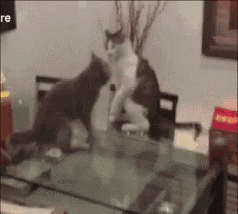 Cats Fight GIF - Cats Fight FunnyCat GIFs