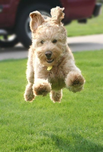 16 Reasons Goldendoodles Are Not The Friendly Dogs
