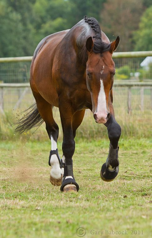 Dutch Warmblood stallion Versache. those legs!