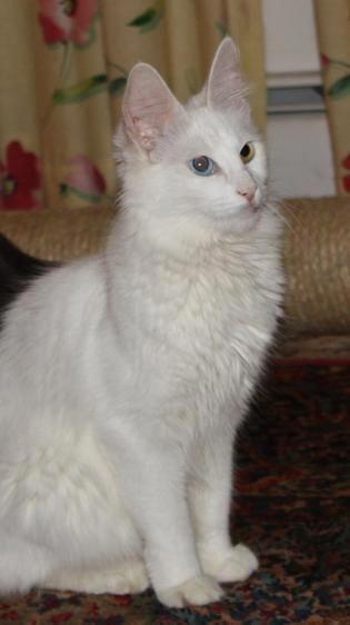 Türkische Angorakatze – #cat #catbreeds #angoracat #turkishangoracat – Turkish Angora Cat