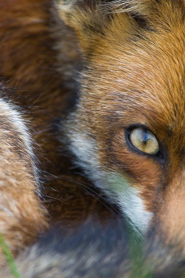 name fox eyes - photo #38