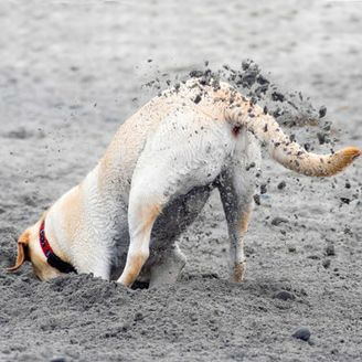 The dirt on dogs who dig