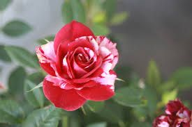Image result for flower shallow depth of field