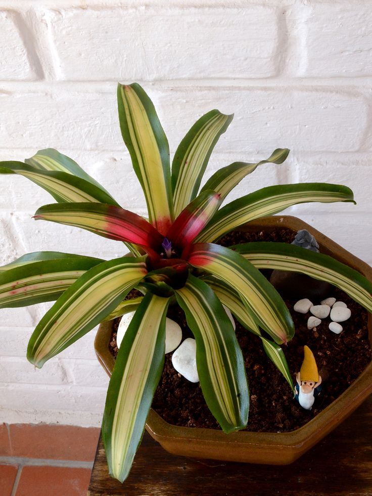 Buy Blushing Bromeliad (Neoregelia Tricolor)