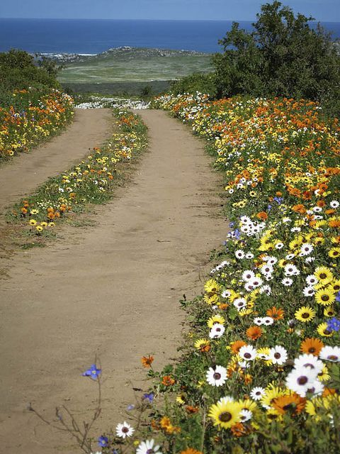 Postberg, wildflowers - West Coast - Western Cape - South Africa