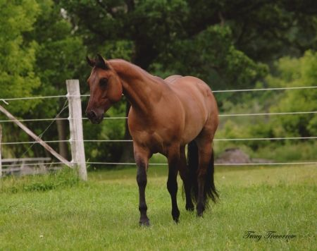 One Hot Lookndun is an American Quarter Horse for Sale in Wisconsin. 10yr old dun gelding by One Hot Invitation (by Invitation Only). Ready to go, shown in All-around events. He is finished in equitation, horsemanship, showmanship, western pleasure, and hunter under saddle. View all photos here: https://myhorseforsale.com/horses-for-sale/details/?hid=30162 .