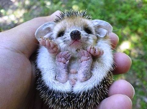 baby porcupine, oh my goodness!