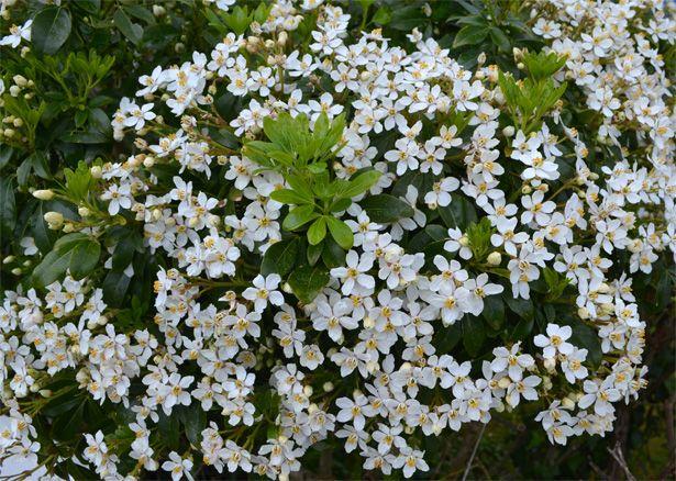 arbuste fleur blanche | map titecampagne