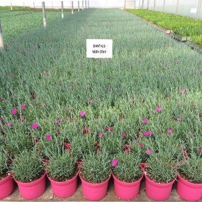 No shortage of Dianthus Neonstar!