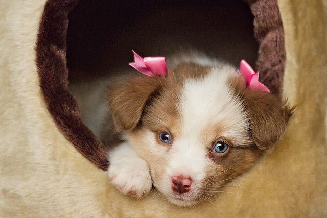 Kairi the Mini Australian Shepherd.  we should have done this when Maddie was a puppy--so cute
