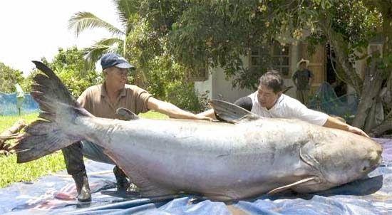 Arapaima, Paiche o Pirarucú es una de las 500 especies de bagre (catfish) que habita en el río Amazonas.