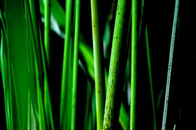 bambu lignes