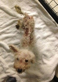 Nov 2015 #WhitehallTownship #Pennsylvania    Police search for woman who dumped skeletal poodle at animal shelter - Anyone with information to help identify the individual in the video please contact the Peaceable Kingdom Tip Hotline at 610-709-6454 or Dog Law Enforcement Officer Orlando Aguirre at 484-223-9107. For anyone wanting to help with Annie's medical expenses, please click pic for link or via PayPal at PK.medical.fund@gmail.com