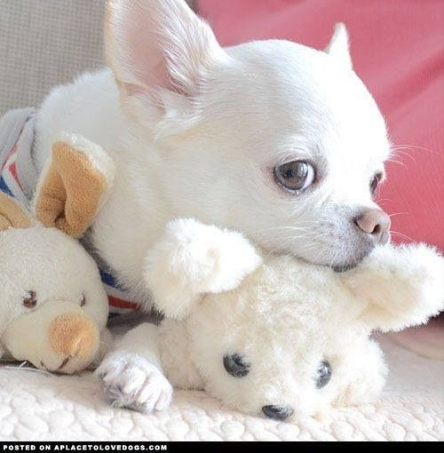 Beautiful White Chihuahua with stuffed friends.