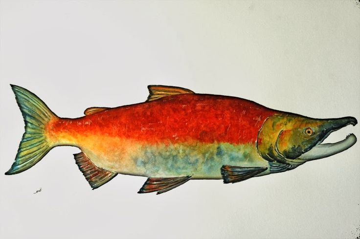 watercolor salmon - Google Search