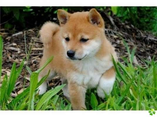magnifiques chiots de race shiba inu. Black Bedroom Furniture Sets. Home Design Ideas