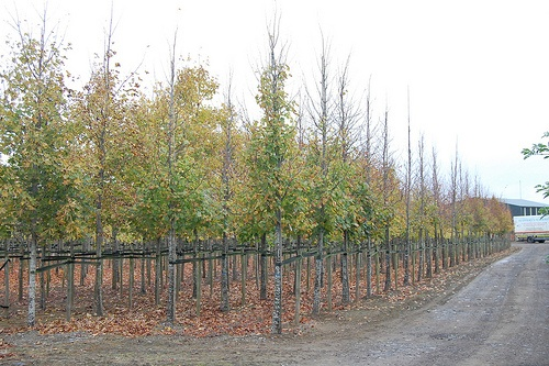 25-30cm Mature Lime Trees