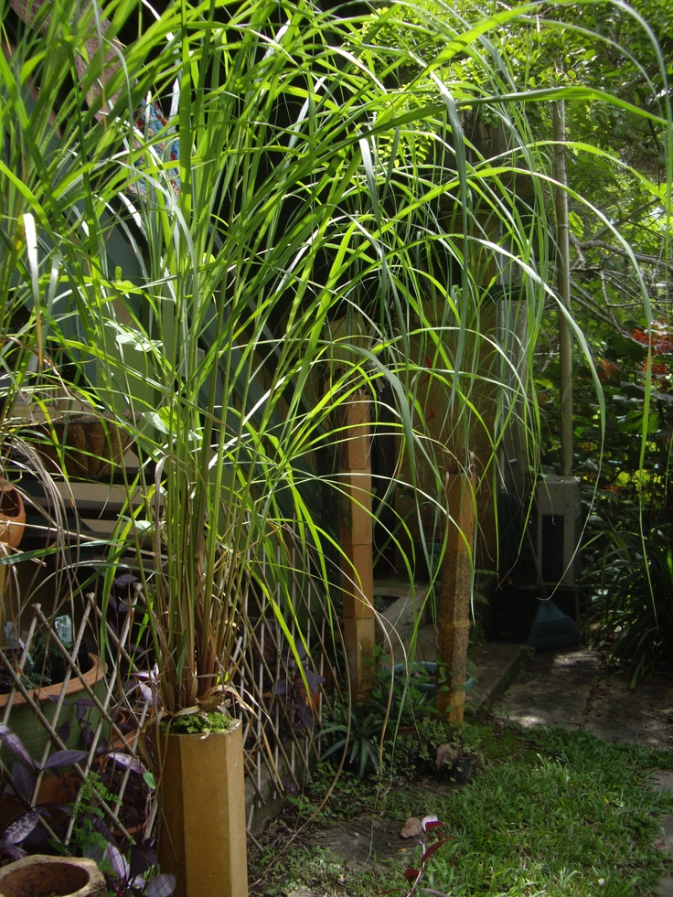 """In the garden - lemongrass """"fountains"""" growing in stacked terracotta drainage pipes"""