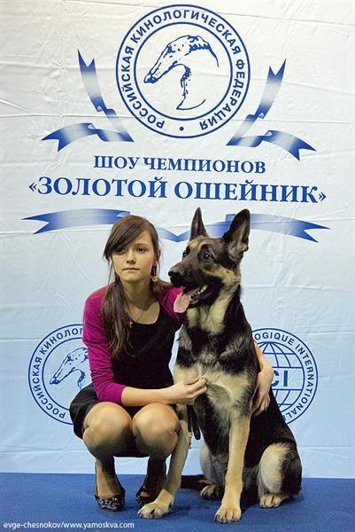 Золотой ошейник выставка собак конкурс костюмов