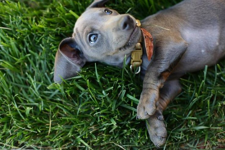 Gray Doxie???! @Ainsley Hutchison - look at this photo album of this perfect pup!
