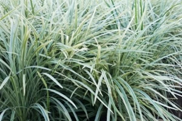 Lomandra Hystrix lucky strip Large, clean, variegated grass, growing 1m tall and over 1m wide. Looks great mass planted. Grows great here in the NT, tough and hardy. Plant in Full sun and avoid planting in an area prone to waterlogging during the wet season