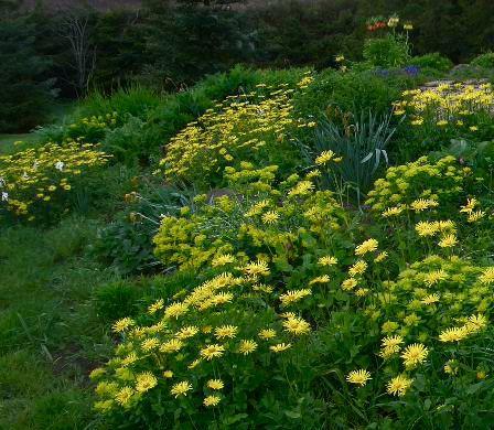 Gullkorg (Doronicum caucasicum): Vår - En vårstaude som er lett å dyrke. Den er ikke spiselig for mennesker, men heller ikke giftig i små mengder.