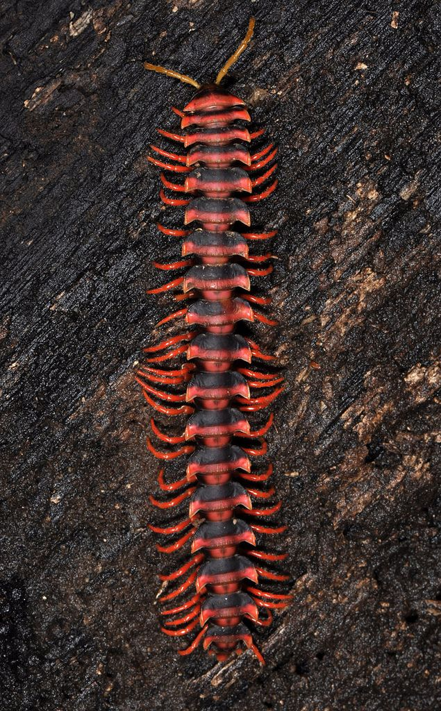 ˚Dragon millipede (Polydesmida)