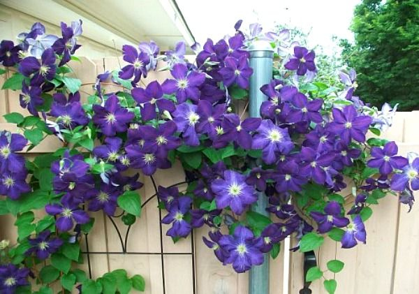 Today's Mastering Gardening Series is about Clematis care and pruning. Clematis is one of my favorite climbing vines. If you don't have a trellis Clematis i