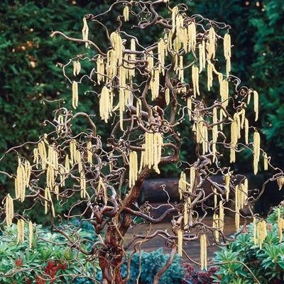 HENRY LAUDERS WALKING STICK- my garden will soon have this- so eery and great!this is like what we saw today with leafs on it through