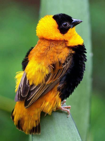 Yellow -crowned Bisshop