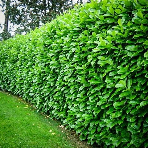 cherry english laurel mature hedge fast growing some