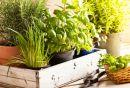 Come coltivare le erbe aromatiche in giardino, sul balcone o in casa   I sempreverdi