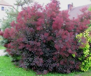 purple smoke tree cotinus coggygria 39 royal purple 39 3 gallon rare finds garden gothic. Black Bedroom Furniture Sets. Home Design Ideas